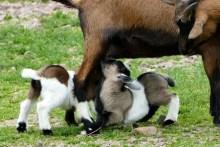 Ziegenkinder Wildpark Osterzgebirge