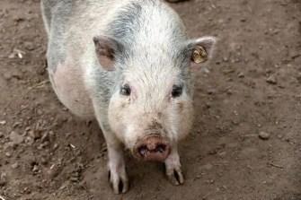 Schwein Wildpark Osterzgebirge