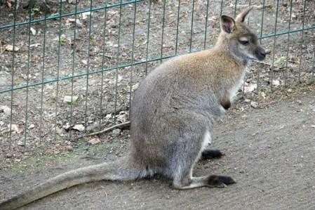 Känguru Wildpark Osterzgebirge
