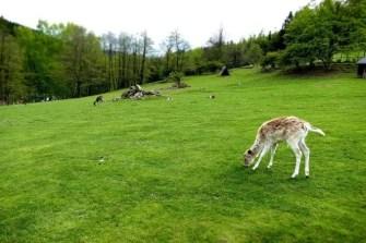Weide mit Rehen Wildpark Osterzgebirge