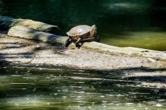 Schildkröte im Carolasee Dresden