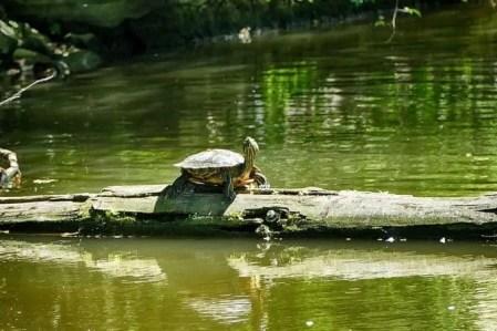 Frei lebende Wasserschildkröte im Carolasee Dresden