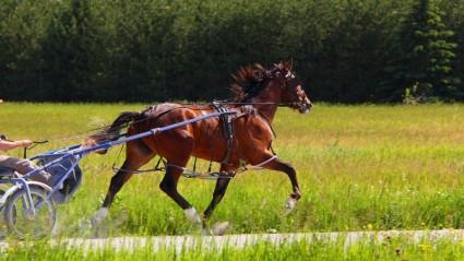 animal_horse_standardbred_222496