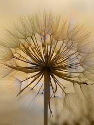 dandelion-1273759__340