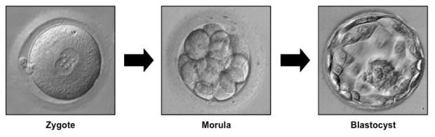 embryo2_med