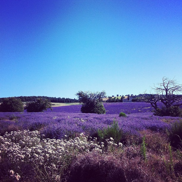 Lavender Fields in Provence, Southern Spain