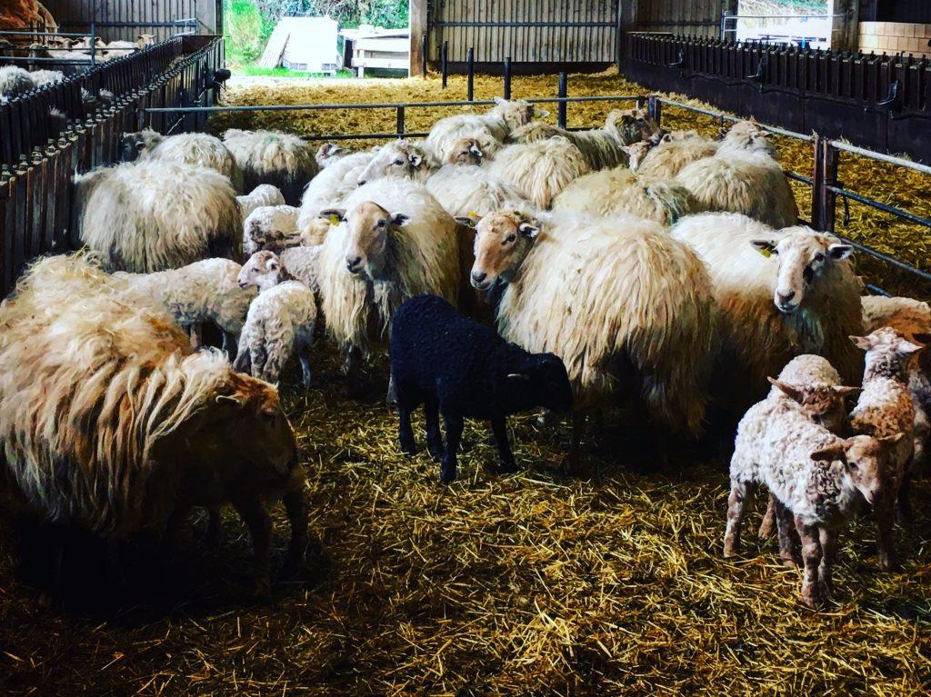 Mikel's sheep at the cheese farm