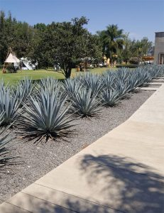 Agave greeters