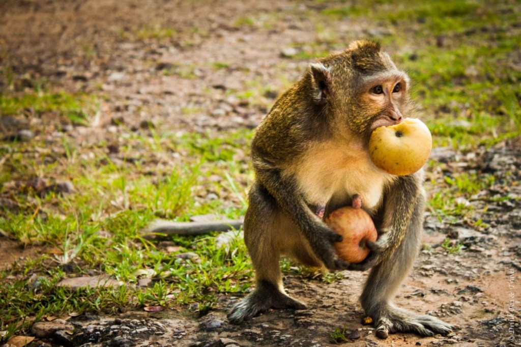 Hey monkey, those are MY apples!