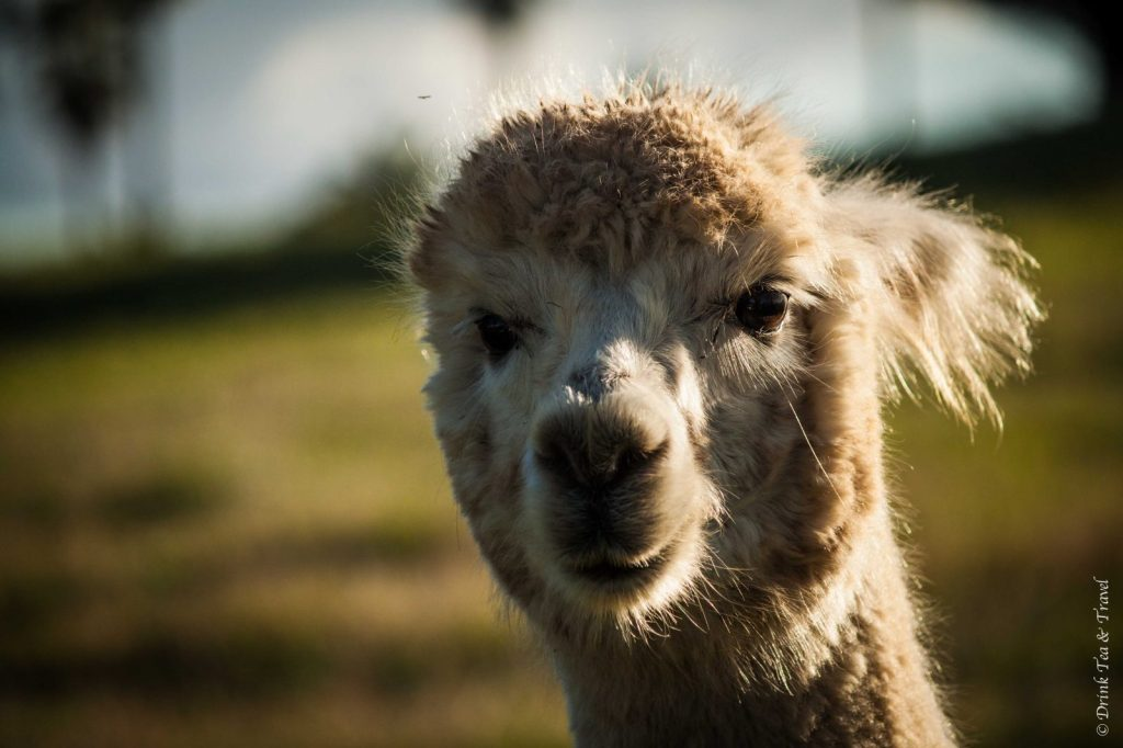 Up close and personal with a llama in Barossa Valley