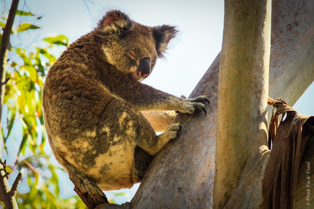 Koala spotted on Stradbroke Island, Queensland