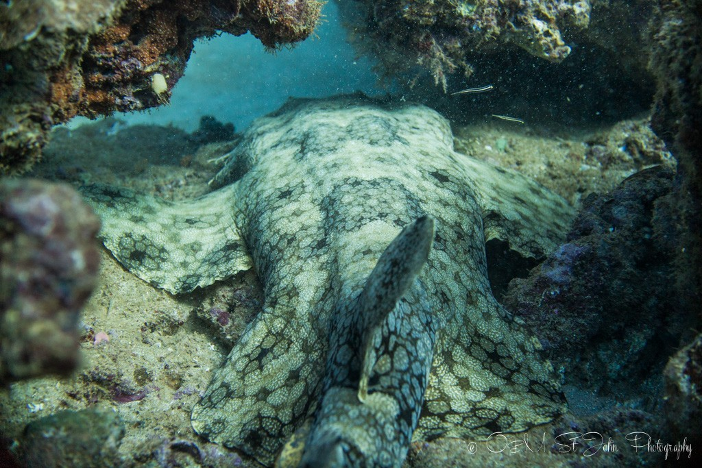 Wobbegong Shark at Lighthouse Bay dive site in Ningaloo Reef. Western Australia