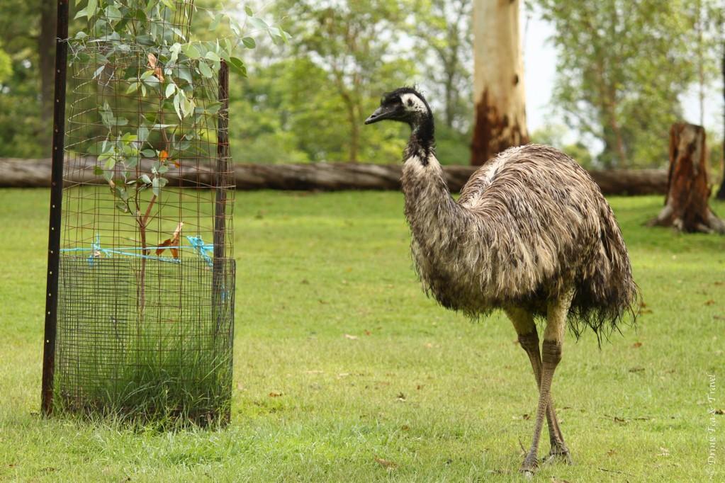 Emu at Lone Pine Koala Sanctuary, Queensland