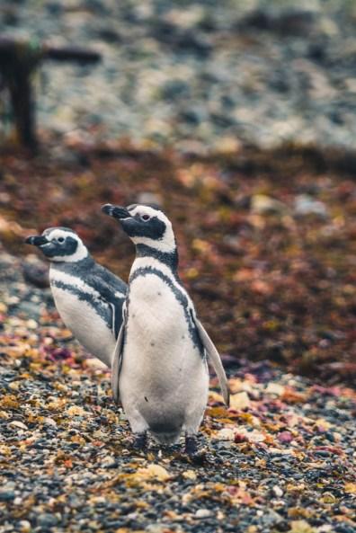 Chile Punta Arenas penguin-8893