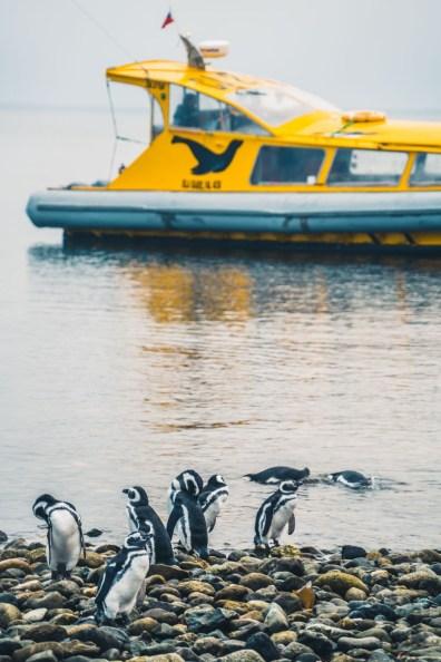 Chile Punta Arenas penguins-8975