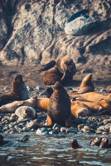 Chile Punta Arenas sea lions-9001