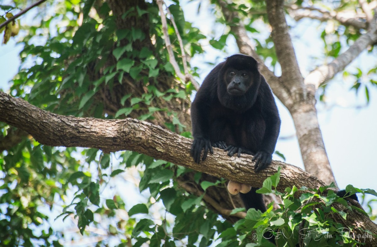Howler monkey. Costa Rica