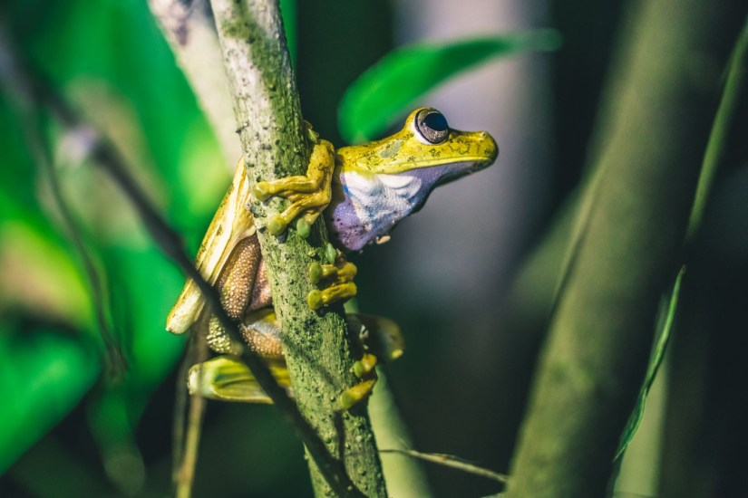 Costa Rica Osa Frog-7423