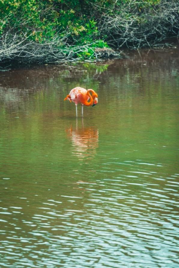 Ecuador Galapagos Isabela flamingo-3555