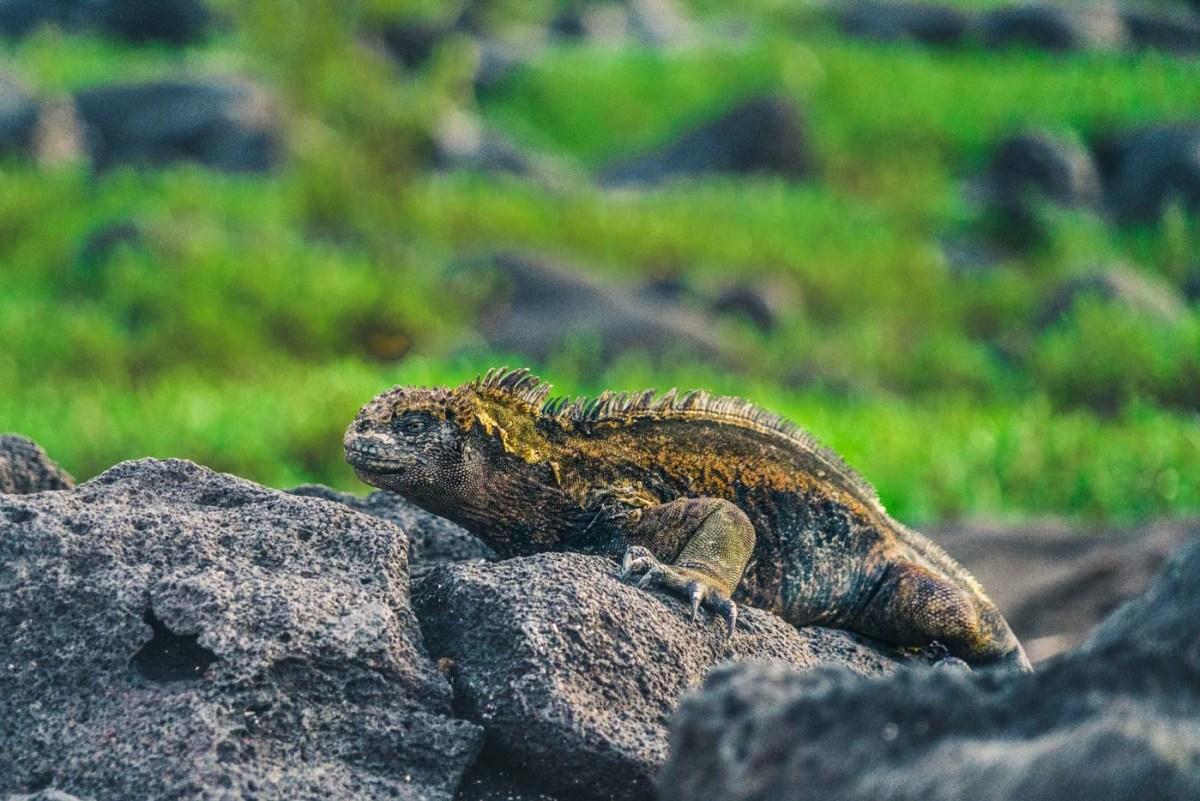 Marine iguana, blending in with lava rocks on San Cristobal Island, Galapagos
