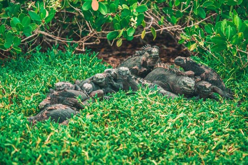 Marine iguana pile up at Tortuga Bay in Santa Cruz island. Galapagos