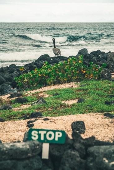 Ecuador Galapagos Santa Cruz pelican-3940