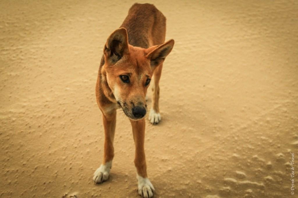 Fraser Island Tour: Dingo on the beach