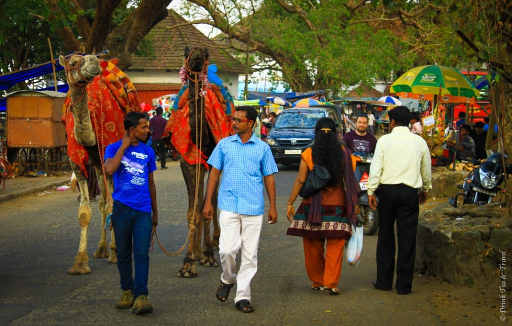 Camels on the street in Kochi, India
