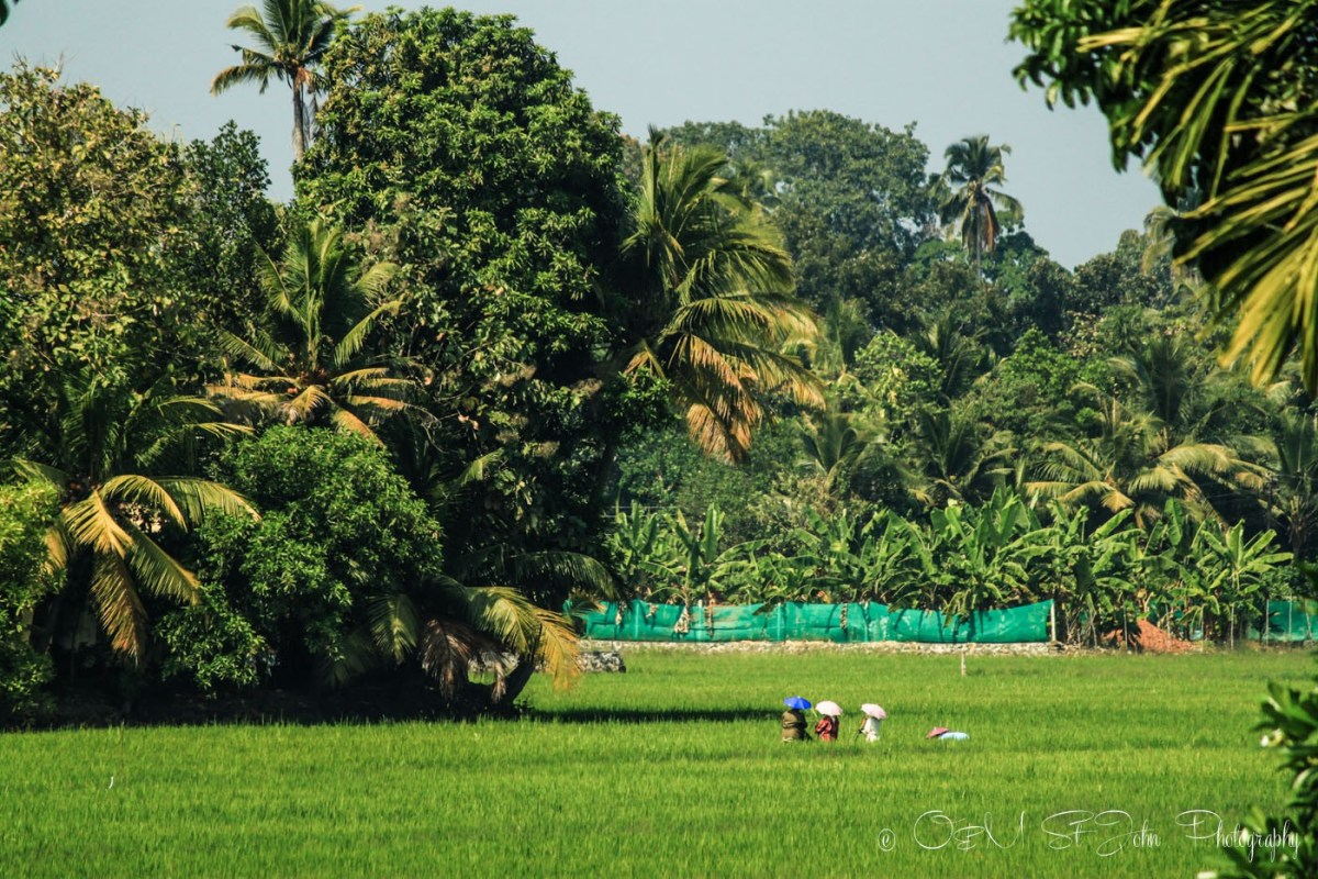 Locals in rice paddies that line the land all around the backwaters. Kerala Backwaters. India