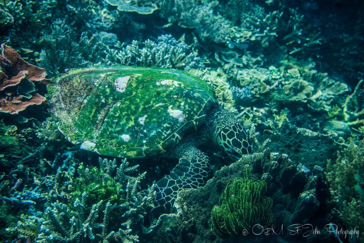 Green turtle, Diving in Komodo National Park