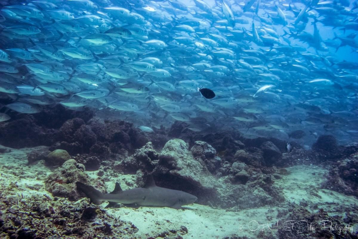 School of jack fish and a shark. Diving in Sipadan Island. Sabah. Malaysian Borneo.
