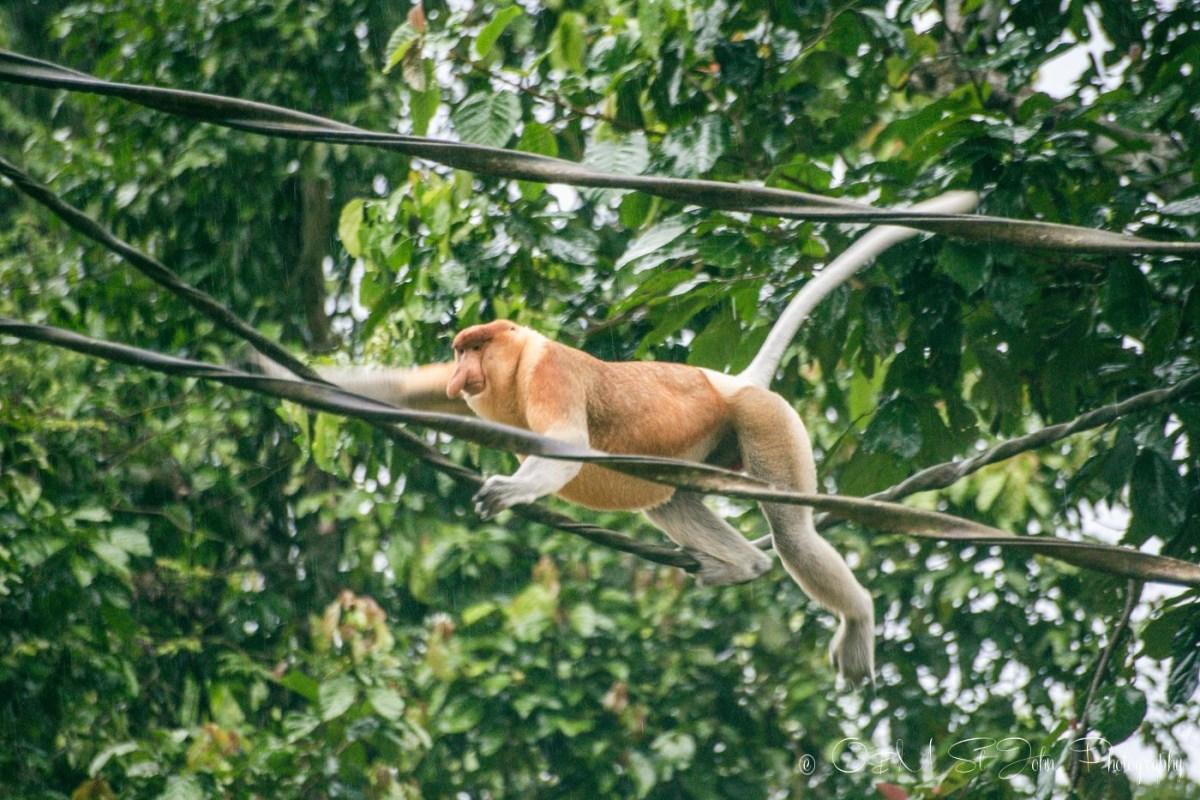 Proboscis monkey crossing the Kinabatangan river in Sabah, Malaysian Borneo