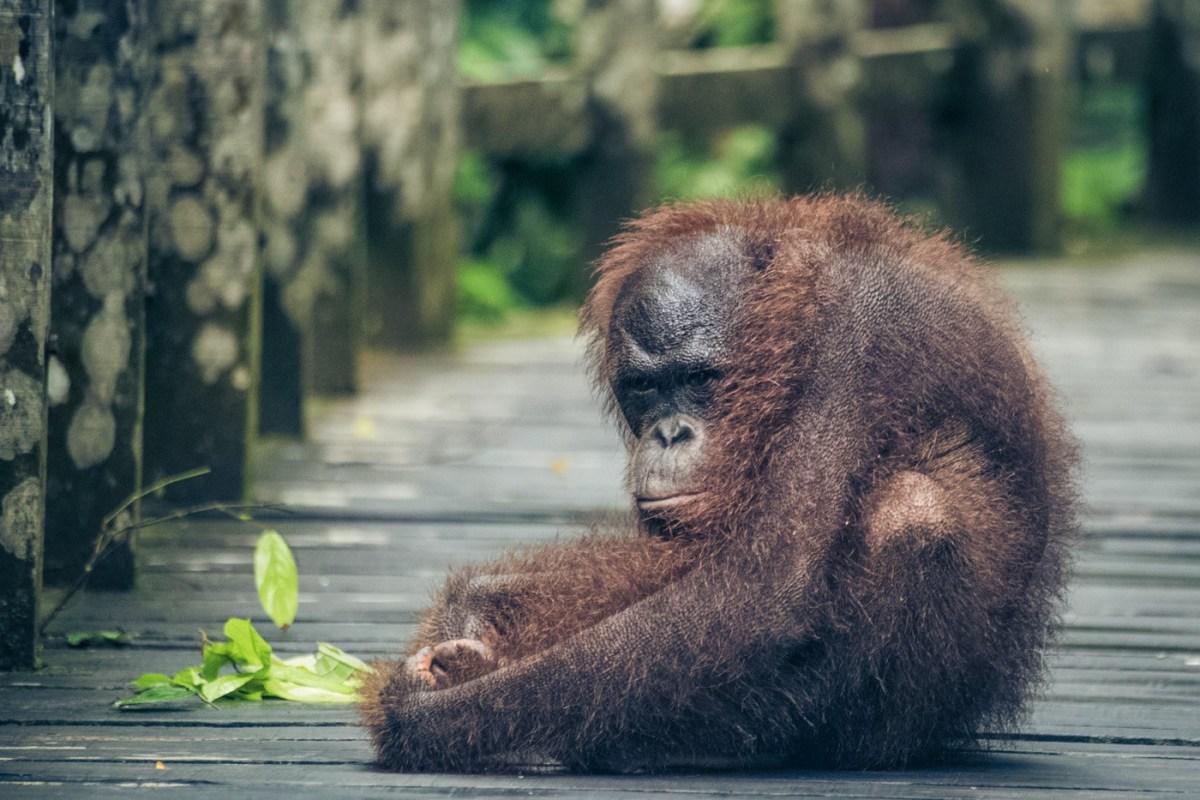 Where to See the Elusive Borneo Orangutan | Drink Tea & Travel