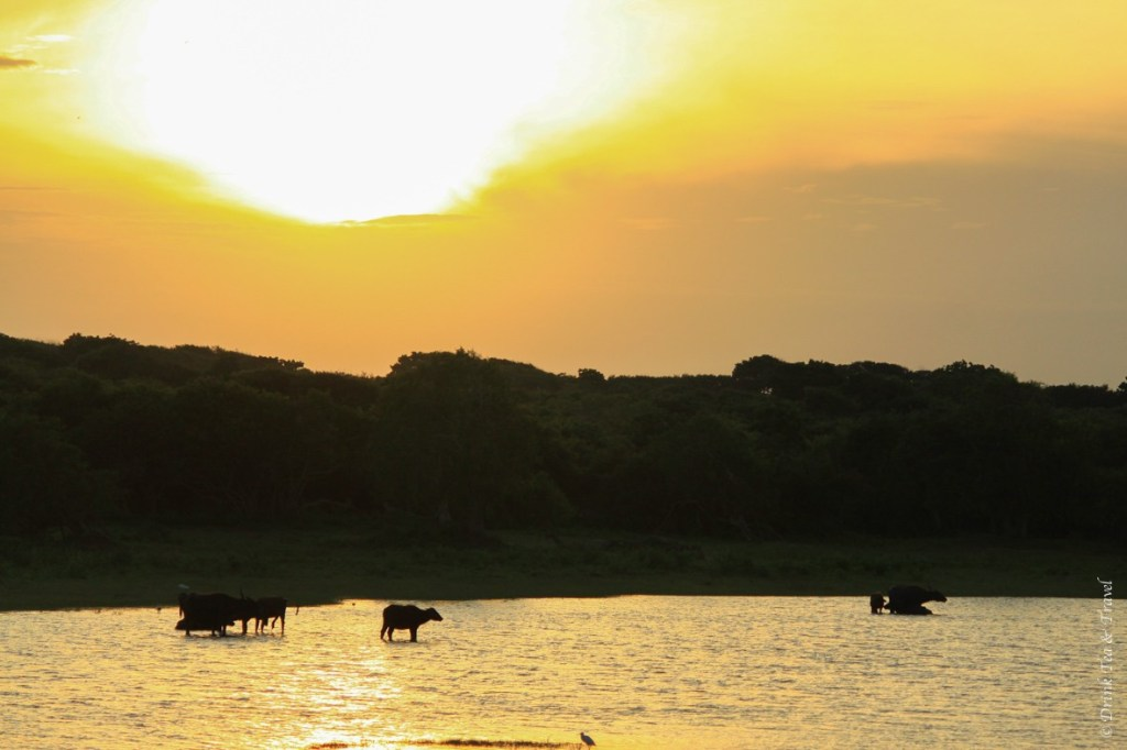 Waterbuffaloes and other animals enjoying a beautiful morning in Yala National Park.