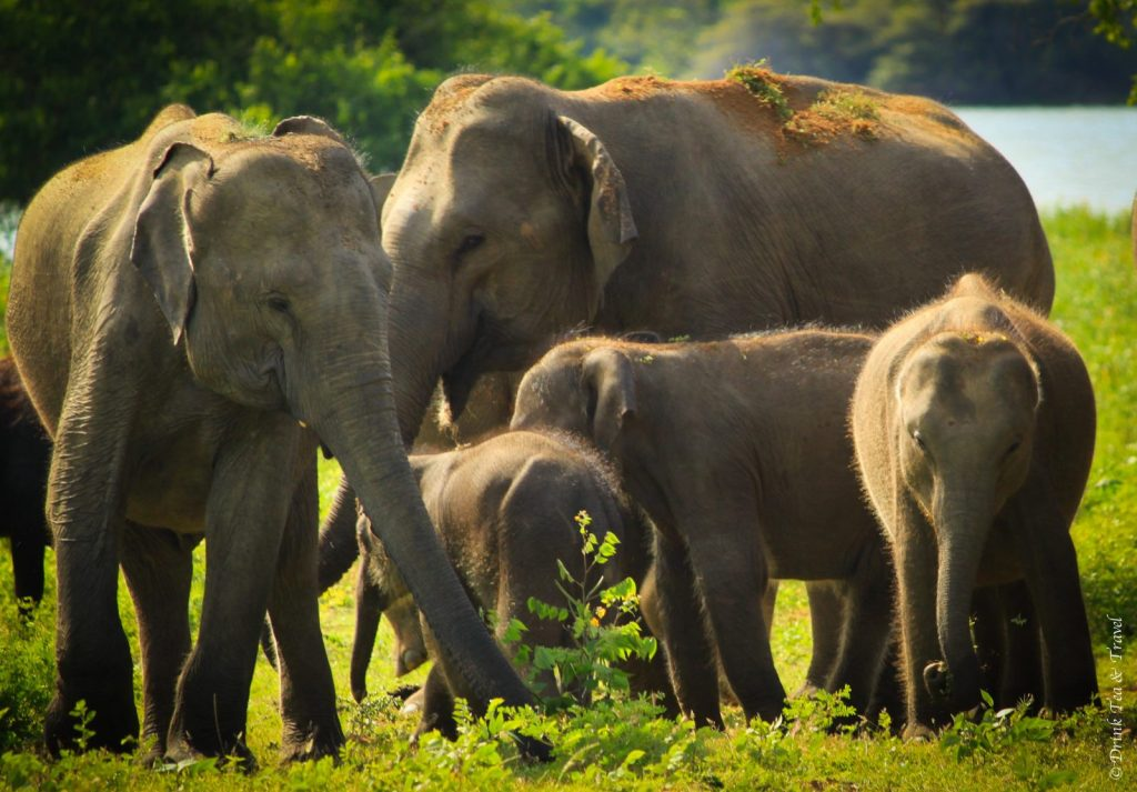 Elephants at Yala National Park, Sri Lanka