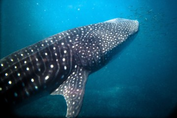 Swimming with Whalesharks at Ningaloo Reef