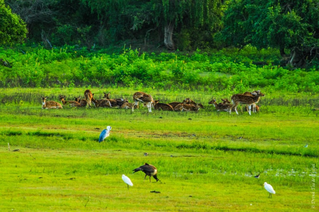 Deer gather near the lake in Yala National Park