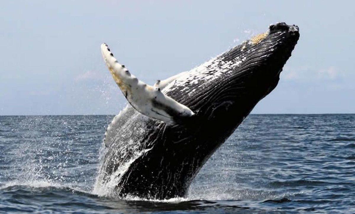 Humpback Whale spotted in Costa Ballena. Puntarenas. Costa Rica