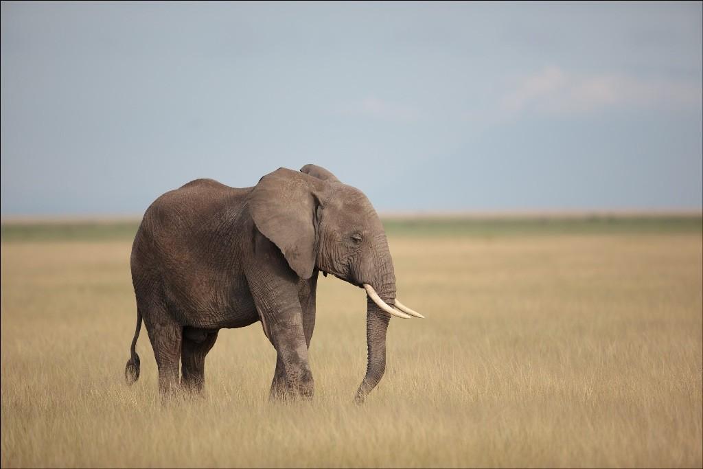 elephants Kenya