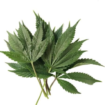 Cannabis Tissue Analysis