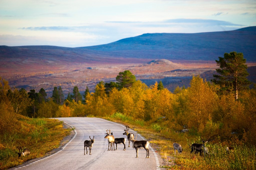 Reindeer on the road in Finland