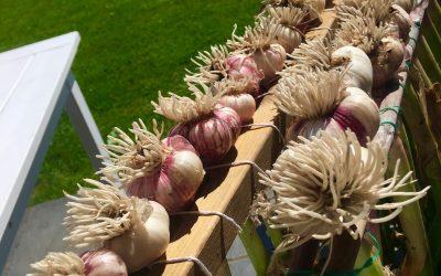 Fulltegnet ! Bli med å høste og lære om hvitløk – kurs