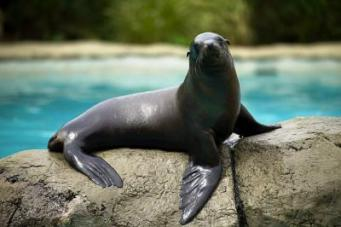 california_sea_lion_5_Big