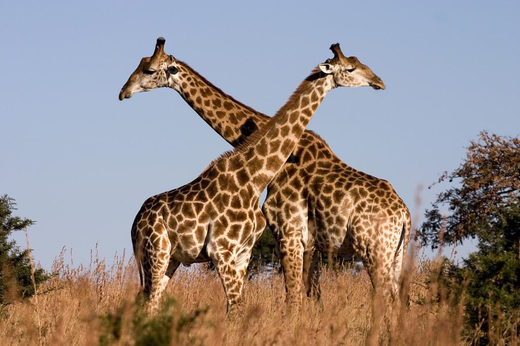 Leadership Lessons from Giraffe #drjohnaking