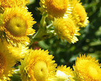 helichrysum-feature
