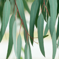 eucalyptus-essential-oil-featured-image