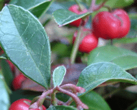 wintergreen-essential-oil1-featured-image