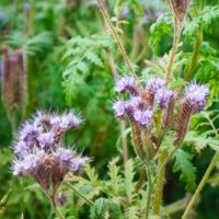 Purple flowers of Phacelia in the garden