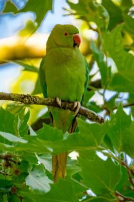 Papagei im Vondelpark