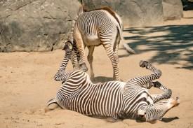 Zebras im Zoo Berlin